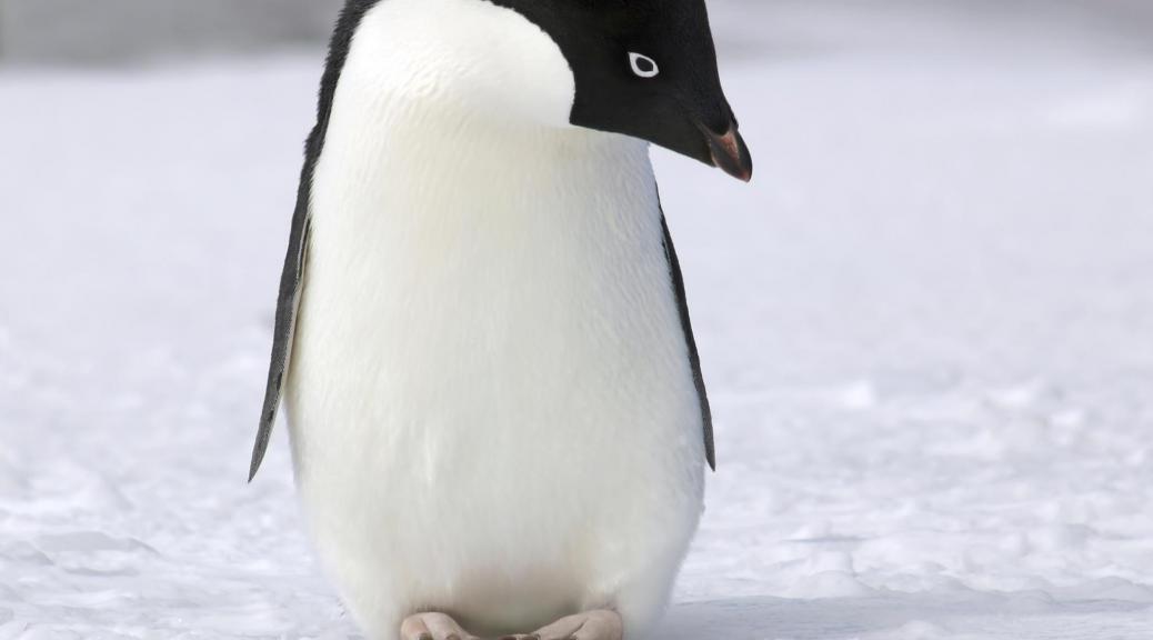 update Pingwina