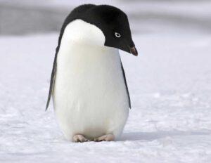 Nadchodzi update Pingwina