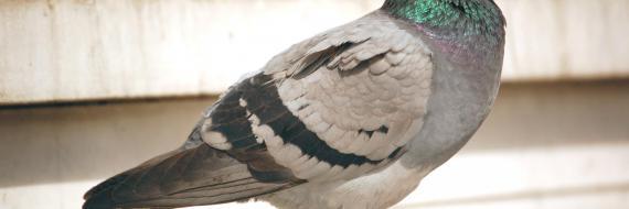 Pigeon inaczej gołąb - update algorytmu Google